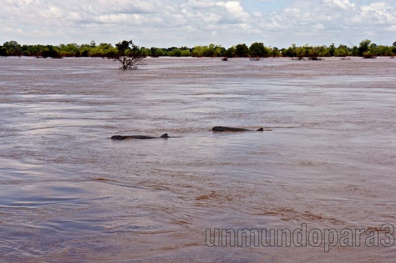 Delfines de Irawadi