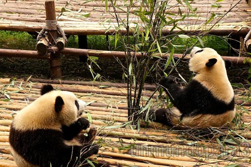 Pandas comiendo