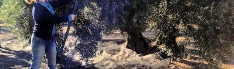 Vareando el olivo