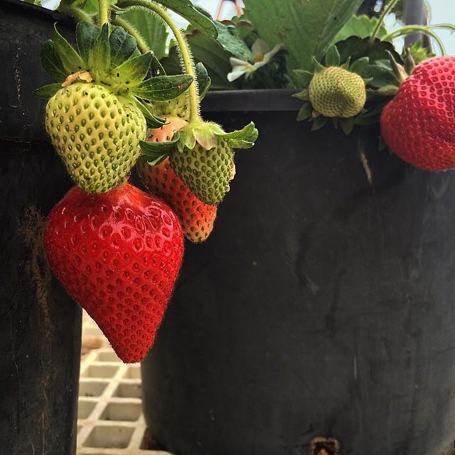 Mmmmm que poquito les queda! #fruta #fruit #Tenerife #Canarias #fresa