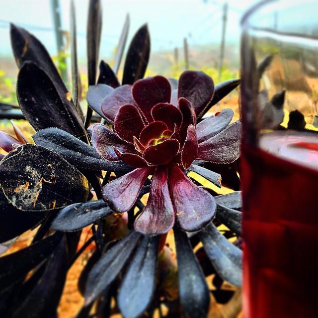 Protagonistas en nuestra tierra canaria, Verodes y vino del país. #Tenerife #vinos #Canarias @BodegaHermanosMesa